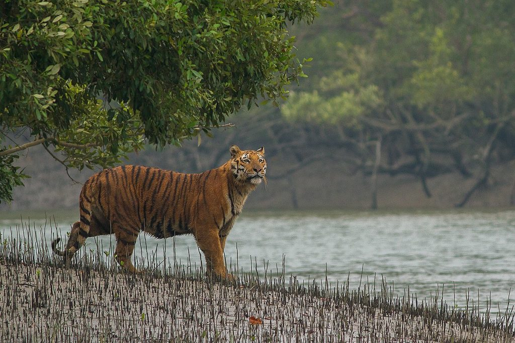 Royal Bengal Tiger at Sundarban National Park In West Bengal