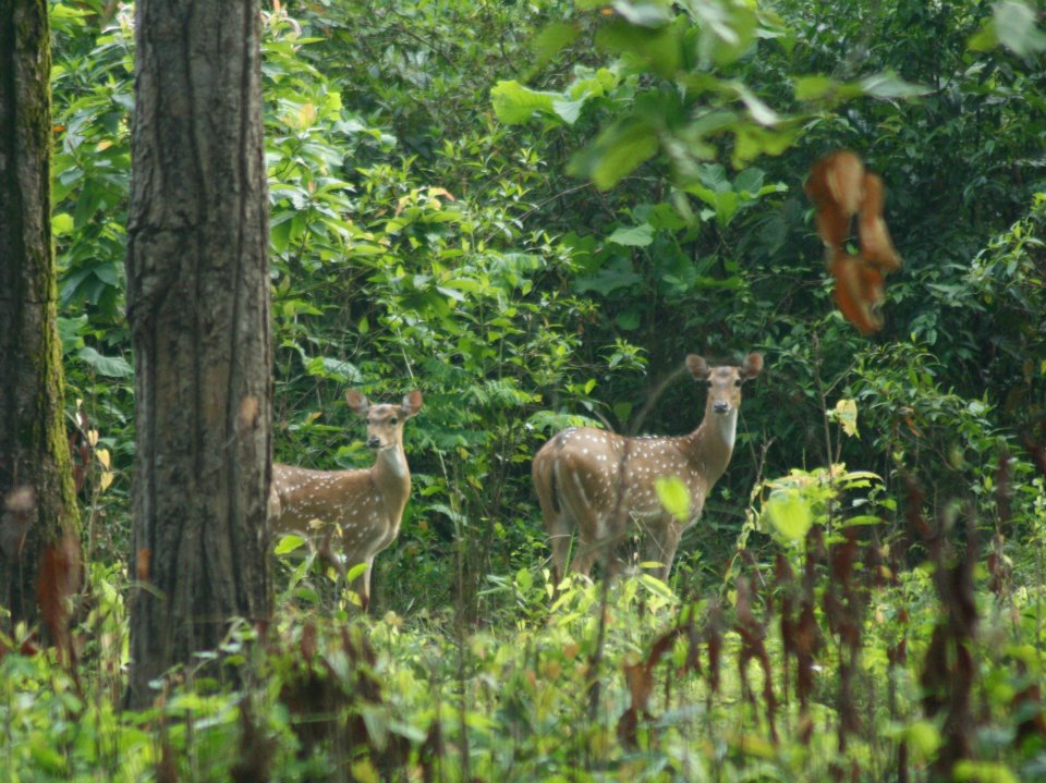 Spotted Deers in Gorumara Wildlife Sanctuaries   National Park In West Bengal