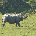 one horn rhino Kaziranga national park